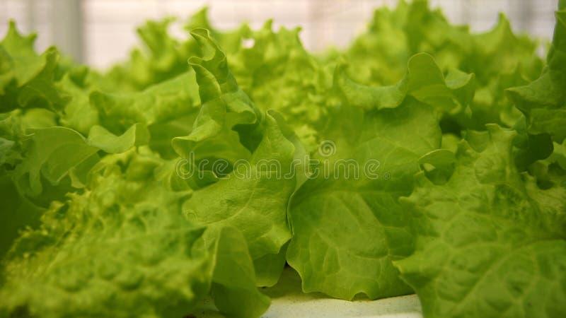 Salade laitue photo stock