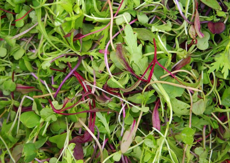 Salade micro de mesclun photo stock