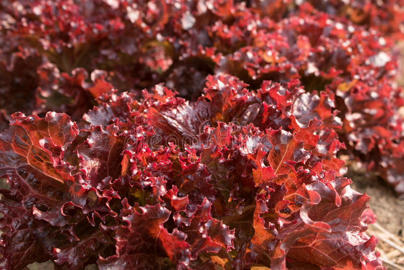 Salade organique de légumes Corail rouge dans le jardin d'arrière-cour image stock