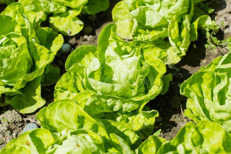 Salade verte organique photo libre de droits