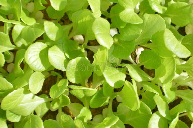 Saladegreens stock afbeelding