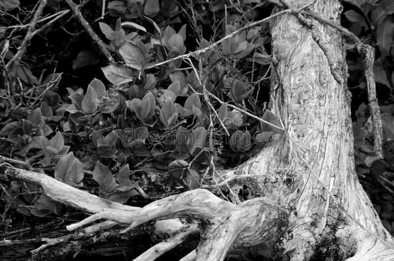 Salal arbustos y las raíces torcidas de un árbol muerto en blanco y negro fotografía de archivo libre de regalías