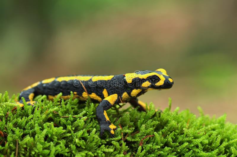 Download Salamander stock image. Image of forest, animal, caudata - 17907381
