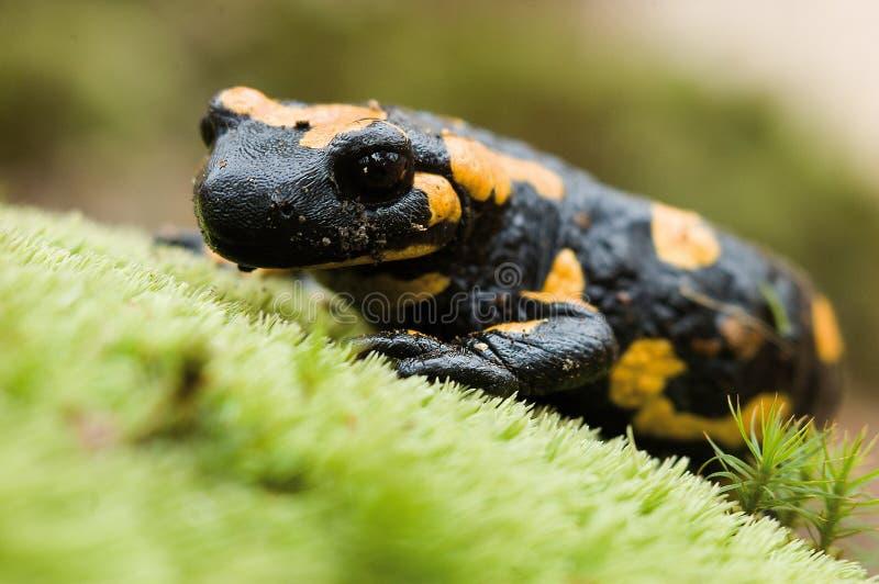 Salamander stockbilder