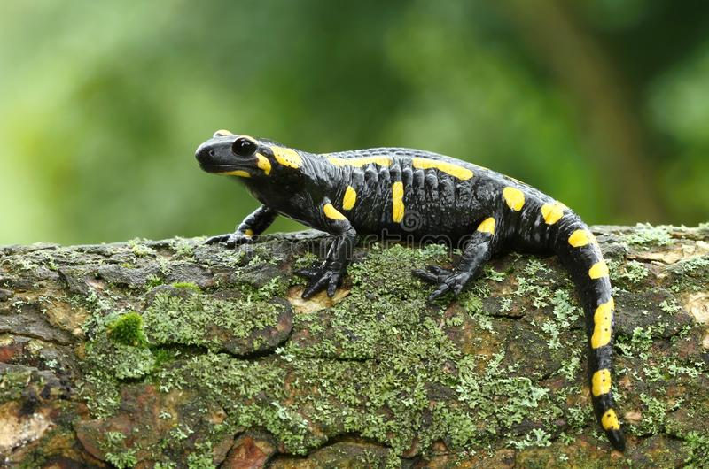 Salamander στοκ φωτογραφίες με δικαίωμα ελεύθερης χρήσης