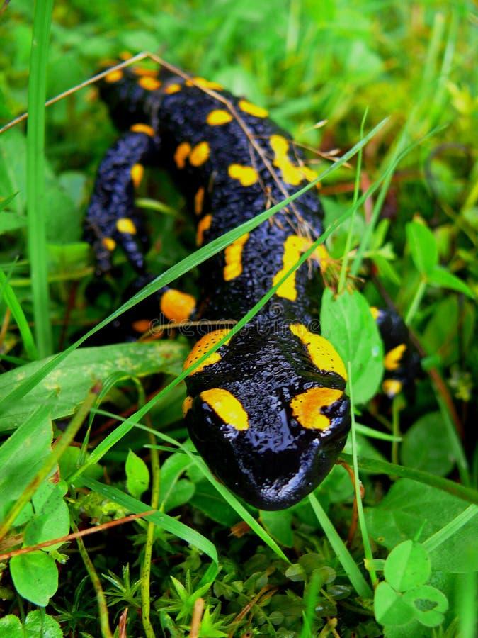 Salamander images stock