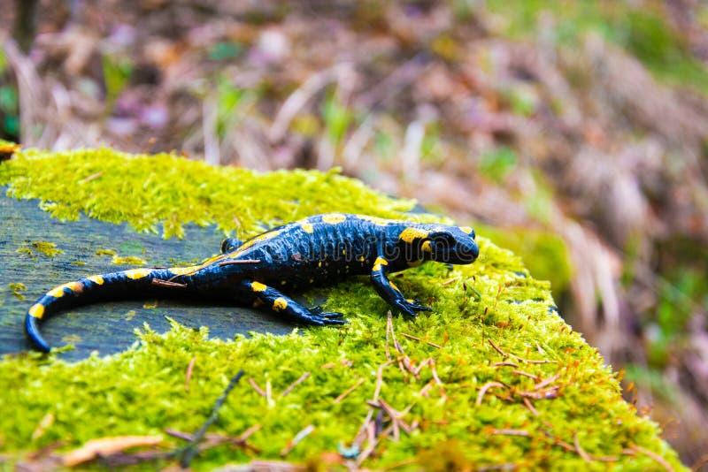 salamander стоковая фотография