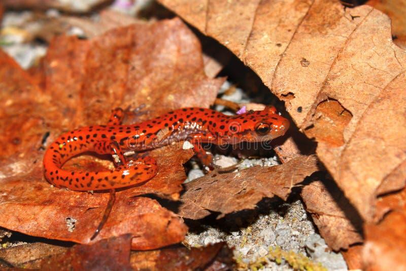 Salamander de caverne (lucifuga d'Eurycea) photo stock