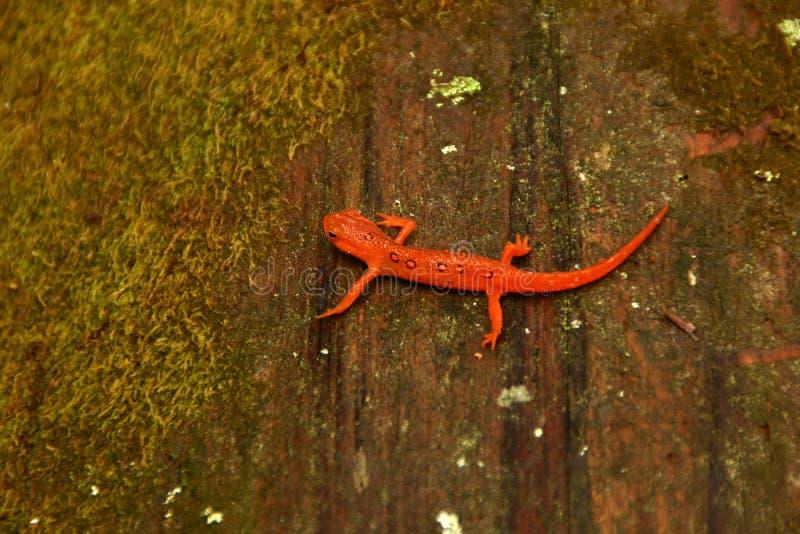 Salamander de Eft en registro cubierto de musgo fotografía de archivo