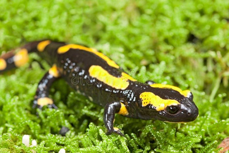 Salamander de incêndio fotos de stock