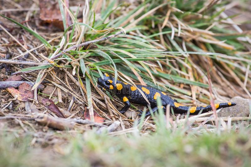 Salamander de incêndio a ir caça fotos de stock