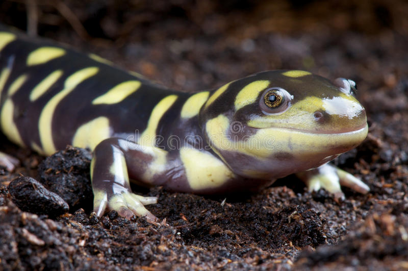 Salamander de tigre image libre de droits