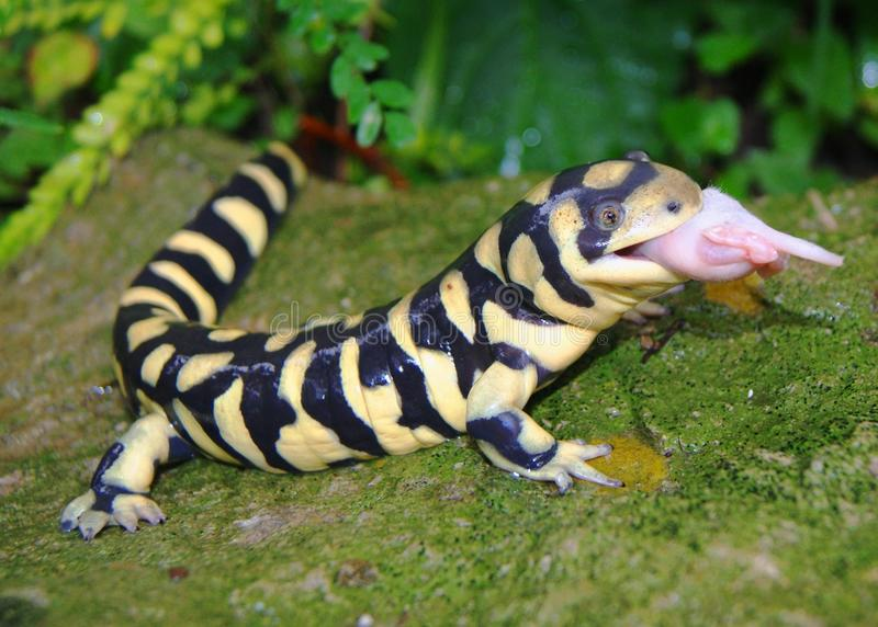 Salamander de tigre barrado, mavortium do Ambystoma imagem de stock