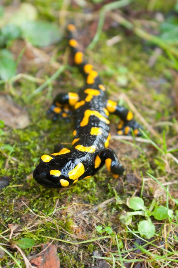 Salamander di fuoco immagini stock libere da diritti