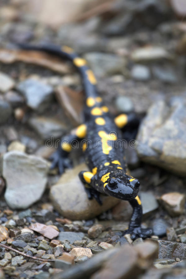 Salamander en las piedras imagen de archivo