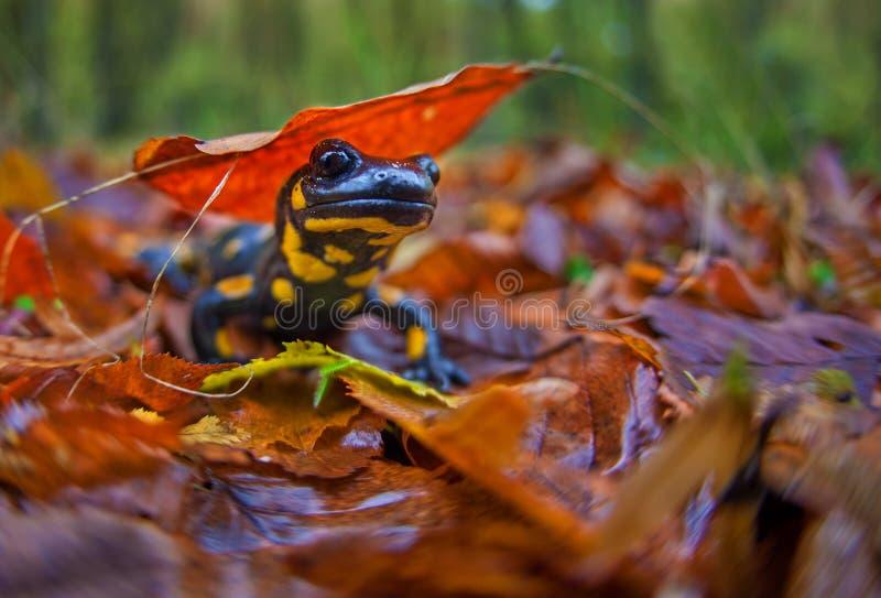 Salamander in Fall stock images