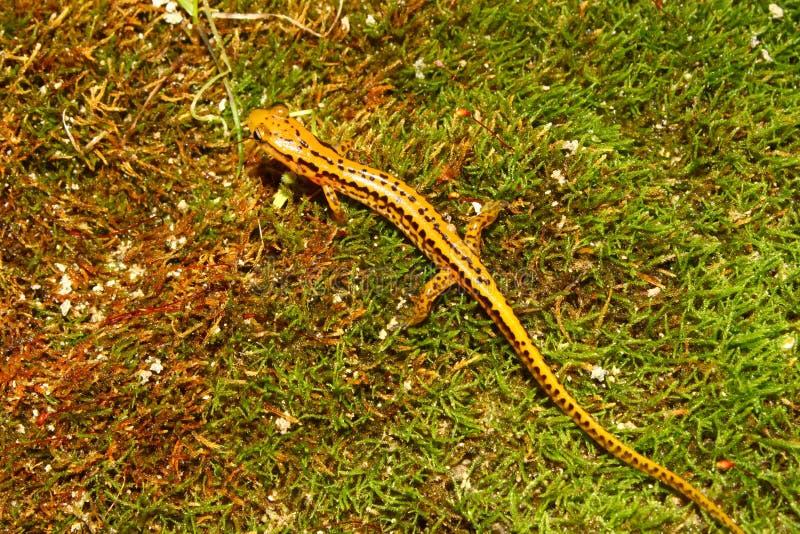 Salamander Long-tailed (longicauda d'Eurycea) image stock