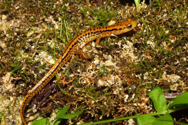 Salamander Long-tailed (longicauda d'Eurycea) images libres de droits