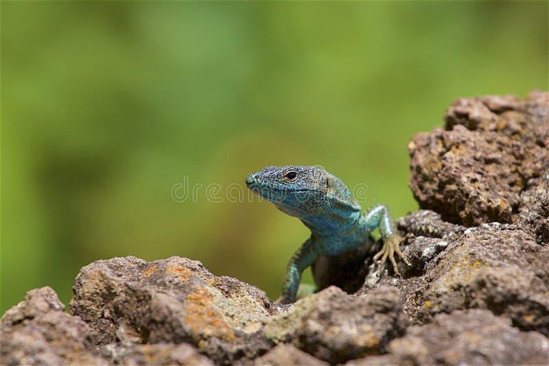 Salamander in Madeira. Local salamander in Madeira, Portugal stock image