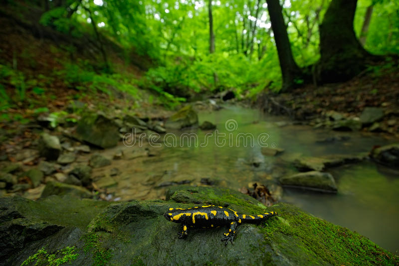 Salamander in nature forest habitat with river. Gorgeous Fire Salamander, Salamandra salamandra, spotted amphibian on the grey royalty free stock image