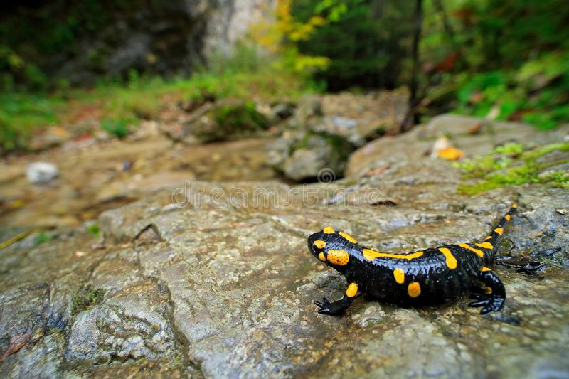 Salamander in nature forest habitat with river. Gorgeous Fire Salamander, Salamandra salamandra, spotted amphibian on the grey sto stock photography
