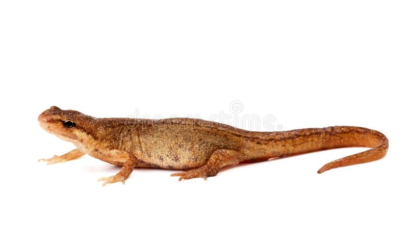 Download Salamander, Or Newt, On White Background Stock Photo - Image: 21386976
