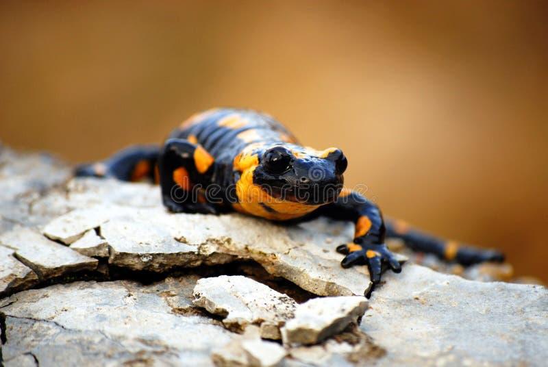 Salamander op een Rots royalty-vrije stock afbeelding