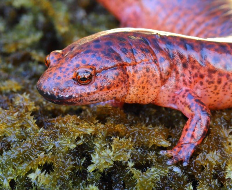 Salamander rojo foto de archivo