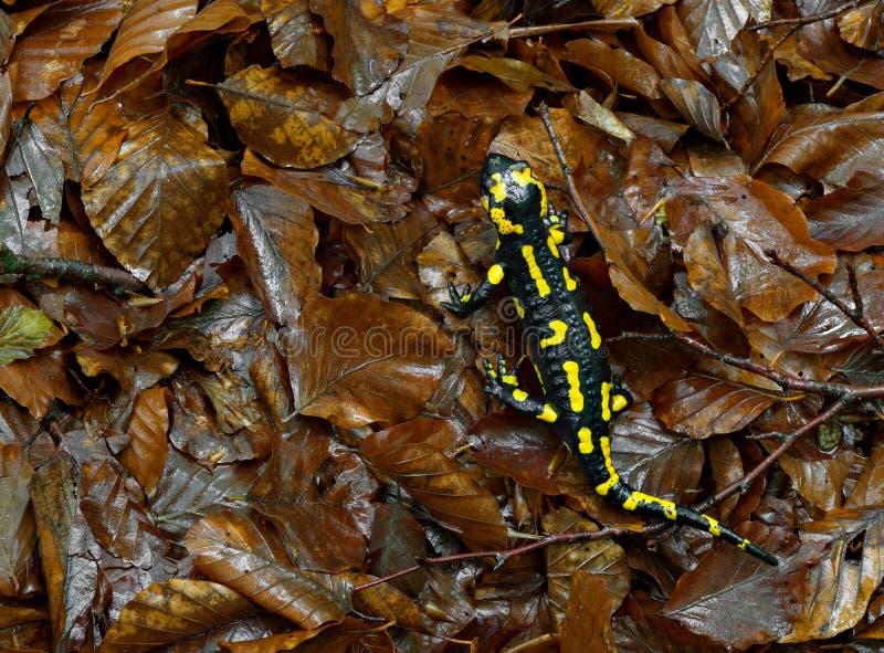 Salamander terrestris in their environment. Detail of a salamander terrestris in wet environment stock photos
