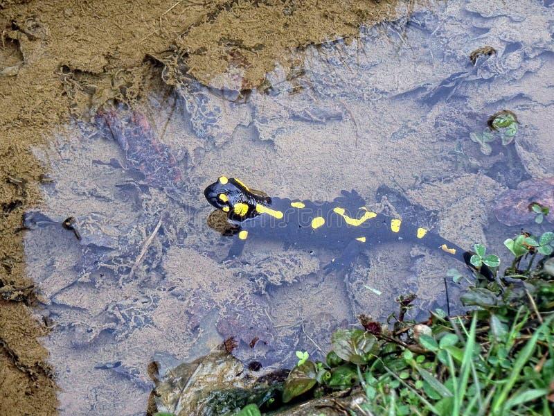 Salamandra в словенском потоке Альпов стоковые изображения