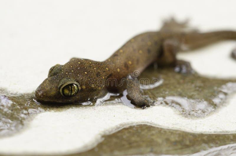 Salamandra atrapada en glue2 pegajoso fotografía de archivo
