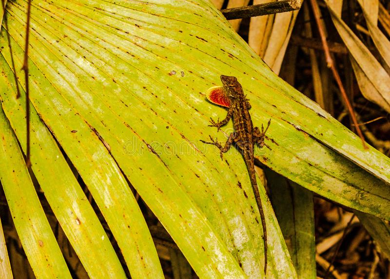 Salamandra Clingin a una fronda de la palma fotos de archivo