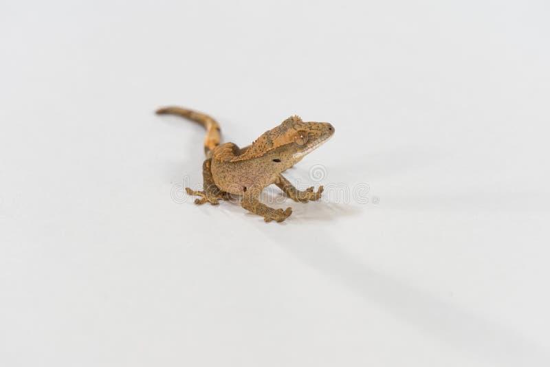 Salamandra con cresta del bebé imagen de archivo libre de regalías
