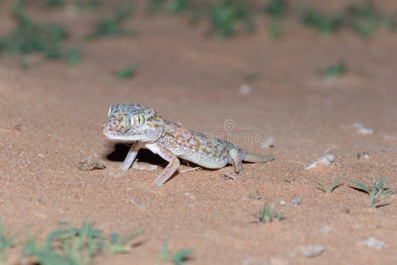 Salamandra Cortocircuito-digitada medio-oriental en la arena fotos de archivo