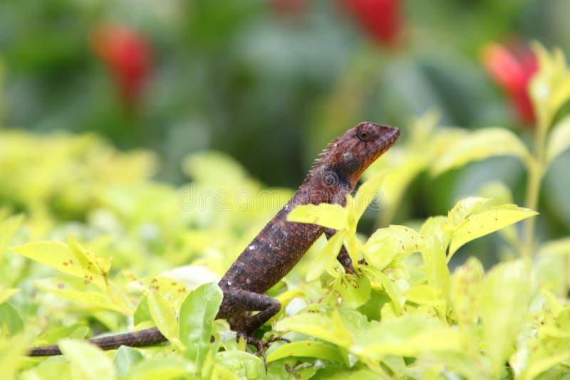 Salamandra de Brown en un fondo de la hierba foto de archivo libre de regalías