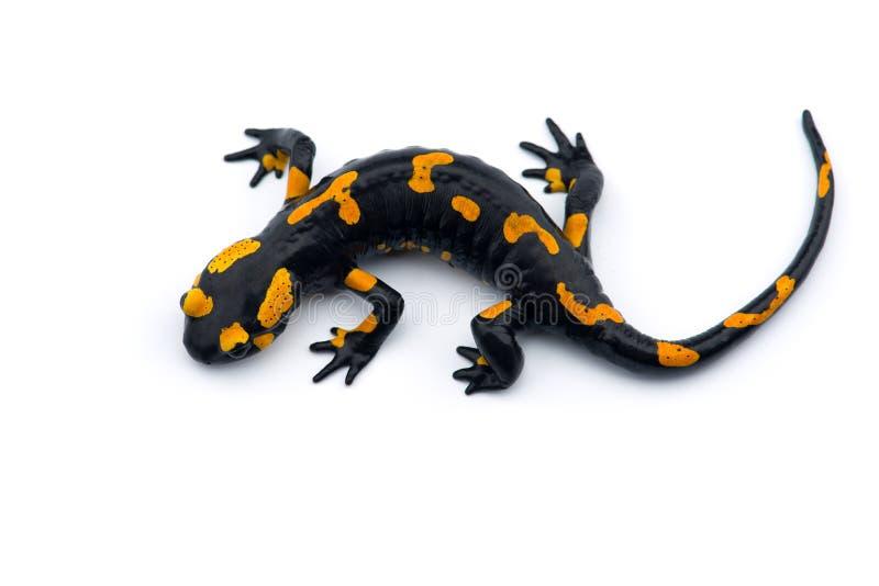 A salamandra de fogo isolada no fundo branco imagem de stock