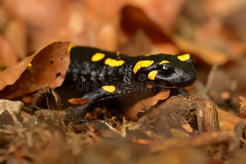 A salamandra de fogo (salamandra do Salamandra) imagens de stock royalty free