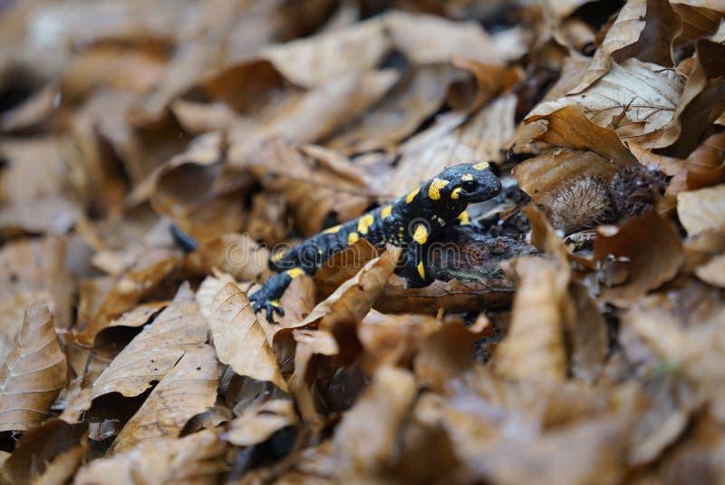 Salamandra de incêndio imagem de stock royalty free