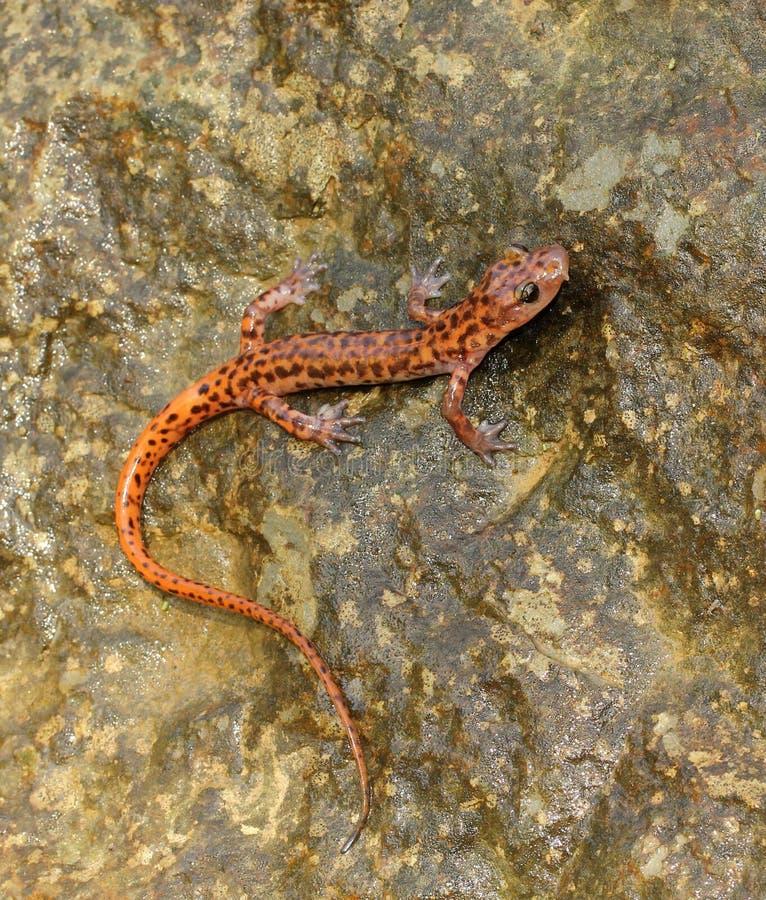 Salamandra de la cueva foto de archivo libre de regalías