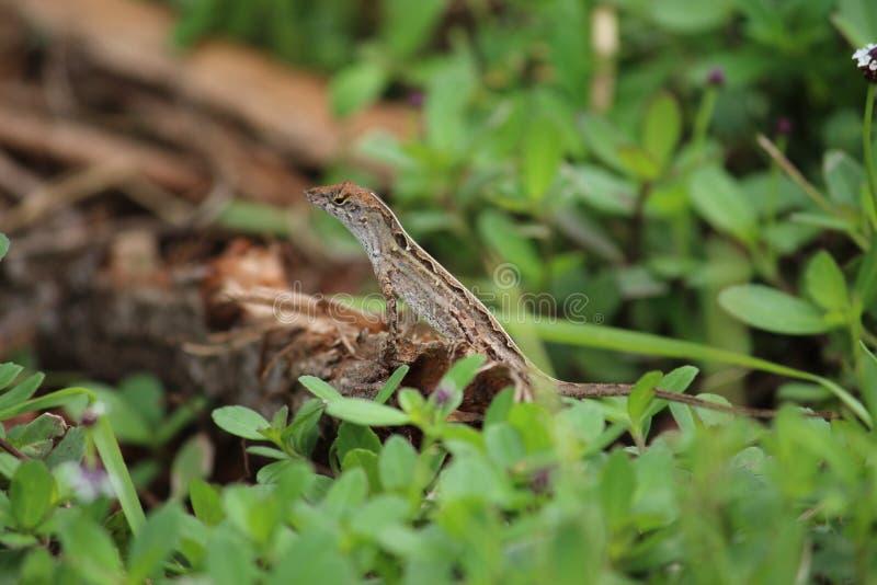 Salamandra de la Florida imagen de archivo