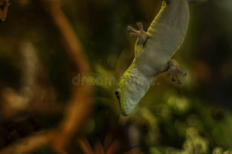 Salamandra de Madagascar sobre el vidrio en un terrario imágenes de archivo libres de regalías