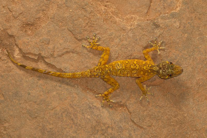 Salamandra de oro masculina, Calodactylodes aurífero Visakhapatnam imagenes de archivo