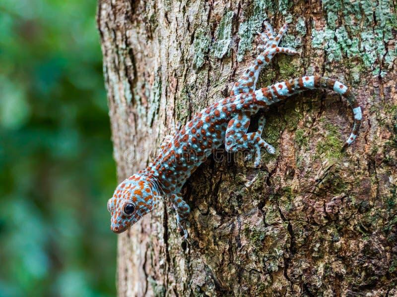 Salamandra de Tokay en el árbol en el salvaje, Langkawi Malasia fotografía de archivo libre de regalías