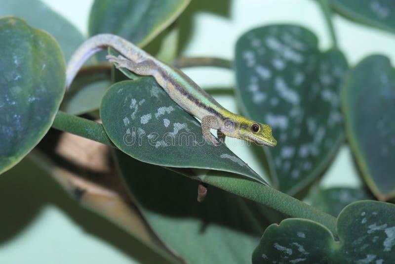 Salamandra del día de Klemmer fotografía de archivo libre de regalías