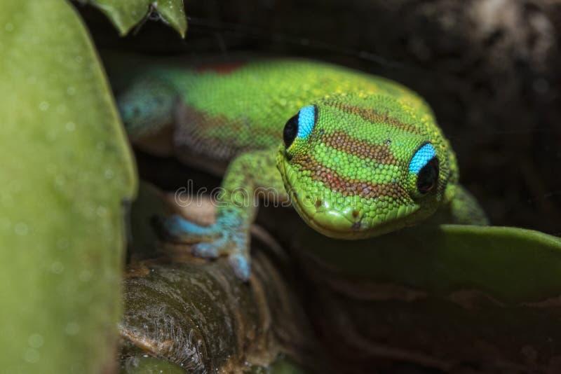 Salamandra del día del polvo de oro mientras que le mira imagenes de archivo