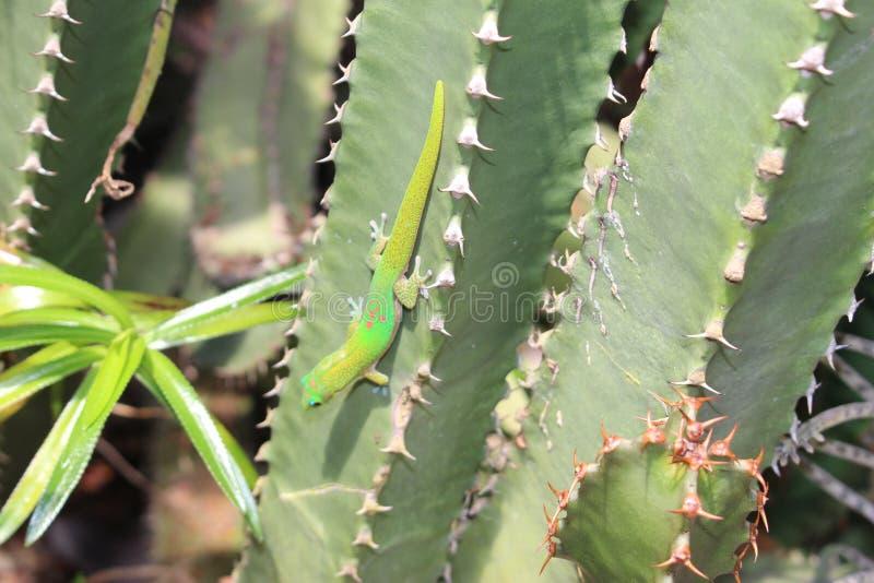 Salamandra del día del polvo de oro - Phelsuma Laticauda fotografía de archivo