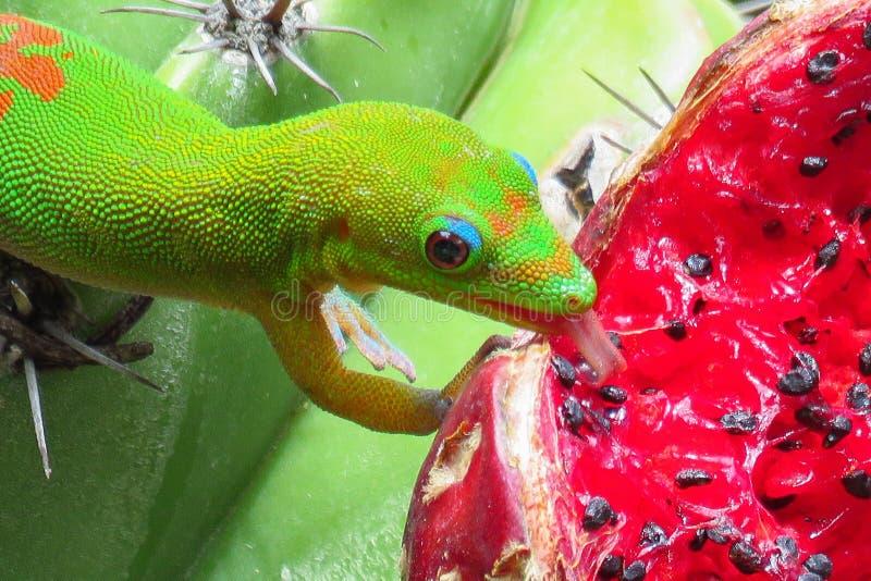 Salamandra del día del polvo de oro que lame la fruta roja jugosa de un cactus verde en los jardines de Moir, Kauai, Hawaii imagen de archivo