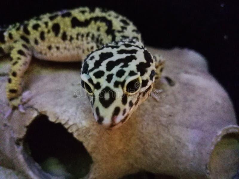 Salamandra del leopardo fotografía de archivo