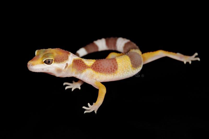 Salamandra del leopardo imágenes de archivo libres de regalías