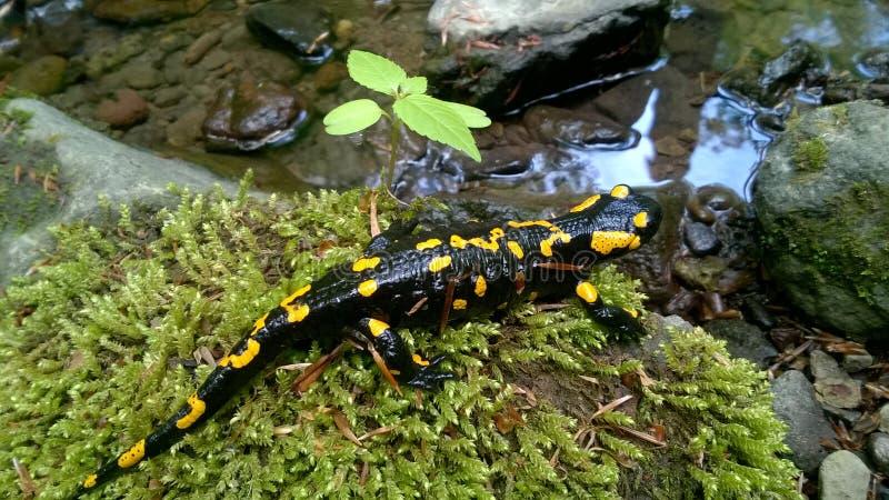 Salamandra di fuoco, punteggiata gialla, tossica immagini stock libere da diritti
